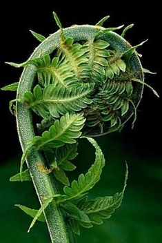 FERN - Mother Nature is incredibly beautiful. Just look at this fern. This is a Fibonacci spiral, or ratios if you've heard about them. The pattern is throughout nature. Dame Nature, Fern Frond, Patterns In Nature, Nature Pattern, Natural World, Amazing Nature, Ferns, Shades Of Green, Planting Flowers