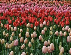 Tulips in Amsterdam's Keukenhof Gardens