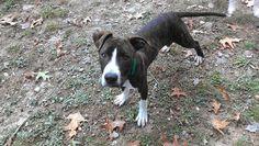 Petfinder Adoptable | Pit Bull Terrier | Dog | Binghamton, NY | Manning