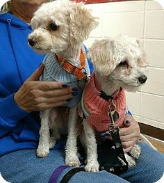 Huntley, IL - Maltese/Poodle (Miniature) Mix. Meet PeeWee and Apricot, a dog for adoption. http://www.adoptapet.com/pet/17692817-huntley-illinois-maltese-mix