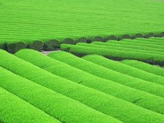 Japanese Tea Plantations 日本の茶畑