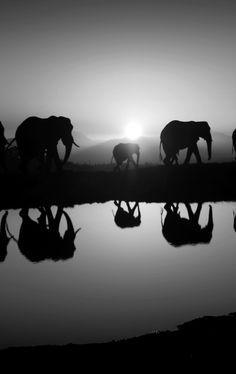 les beaux éléphants et leur reflet