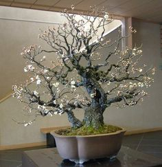 Beautiful Bonsai Prunus mume, Japanese apricot (Japanese flowering apricot) and Chinese plum