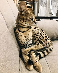 Rare Cats, Exotic Cats, Cats And Kittens, Serval Pet, Cute Baby Animals, Animals And Pets, White Cat Breeds, Domestic Cat Breeds, Beautiful Cats