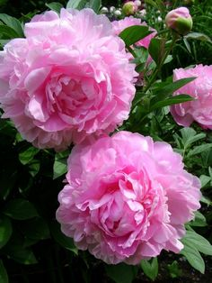 PILLOW TALK-peonie Peonies Garden, Pink Garden, Summer Garden, Flowers Nature, Pretty Flowers, Garden Pictures, Edible Garden, Pink Peonies, Beautiful Roses