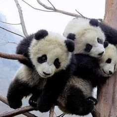 How Panda Bears does it take to hold up this tree?