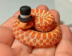Give!!! This is just way to cute I'm gonna die! Western hoggie!