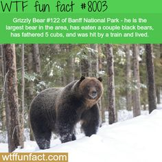 The largest bear in Banff National Park - WTF fun fact