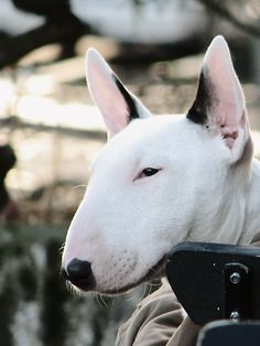 I fell in love today. Adorable Animals, Animals Beautiful, Psi, Miniature Bull Terrier, Nanny Dog, English Bull Terriers, Dog Rules, Mans Best Friend, Pet Adoption