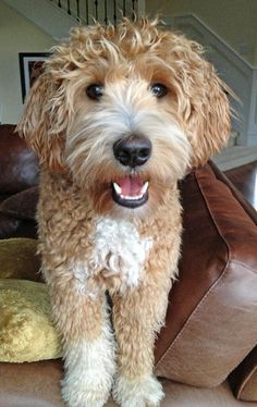 Pin by Carla Millares on Labradoodle haircut Pinterest