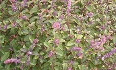 The Essential Herbal Blog: Holy Basil – The Incomparable One