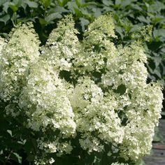 Bobo™ Hydrangea A new dwarf form that is sure to be a crowd stopper. It will be a great asset to any small or narrow garden. This little guy packs a wallop of flowers lime green to white flowers all summer. Dwarf Shrubs, Dwarf Plants, Sun Plants, Garden Plants, Indoor Plants, Bobo Hydrangea, Dwarf Hydrangea, Hydrangea Garden, Hydrangeas