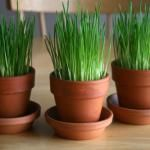 Wheatgrass To Grow For Easter Decor-YES...There is still time as it only takes a week!
