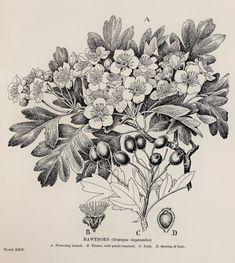 1909 Botanical Print by C. F. Newall: Hawthorn, May (leaves, flowers and berries)
