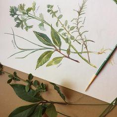 """11 Me gusta, 1 comentarios - Erika Brandner (@ekadeko) en Instagram: """"Ilustración de hierbas de mi jardín: laurel, romero, ciboulette, orégano #hierbas #watercolor"""""""