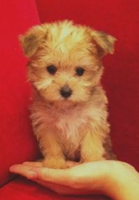 Female Teacup Morkie-Someday Jack & Khloe are going to have a blonde morkie, I just know it! lol!! ;)
