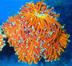 radioactive orange blue tipped australian show torch coral Saltwater Aquarium Setup, Tropical Fish Aquarium, Saltwater Tank, Marine Aquarium, Reef Aquarium, Underwater Plants, Underwater Theme, Marine Tank, Marine Fish