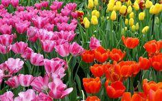 campo tulipani