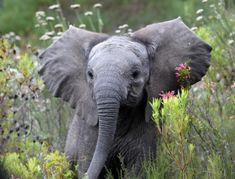 World Elephant Day, Elephant Love, Elephant Art, All About Elephants, Animal Print Shop, Elephant Photography, Nature Photography, Elephants Photos, Baby Elephants