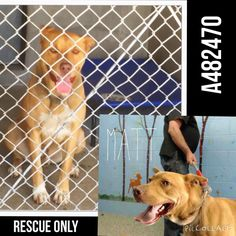 7/19/15-CODE RED!! Matt is there... In isolation. He never barks... Always quited and sad. MATT #A482470 (AVAILABLE 6/4) Rescue only I am a male, tan Pit Bull Terrier. I have been at the shelter since May 28, 2015. If I am not claimed, after my stray holding period, I may be available for adoption on Jun 04, 2015. For more information about this animal, call: San Bernardino City Animal Control at (909) 384-1304 Ask for i