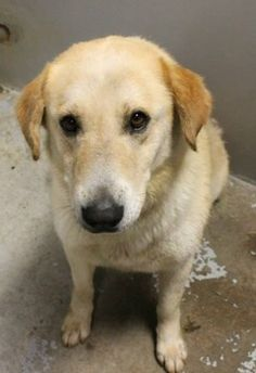 Griffin: Beautiful retriever, heartworm positive, needs out of high-kill shelter