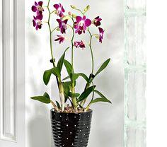 Dendrobidium Orchid