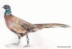 Pheasant Wildlife Art, Pheasant, Limited Edition Prints, Giclee Print, Antiques, Artist, Antiquities, Artists, Antique