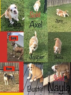 These are the pups that will be available for their forever home on July 20, 2019. Zeke, Juno, Jasper, Sheba and Buster. Each pup is $1200.00. NKC Registered American Bulldogs, up to date on shots and deworming, vet certified and doggy door trained. We are located in Beggs, Oklahoma but have transport available for states between Oklahoma and West Virginia. If interested, please email us at kuhlmankountry@yahoo.com #americanbulldogs American Bulldogs, On Shot, Pet Life, West Virginia, Oklahoma, Jasper, Corgi, Shots, Puppies