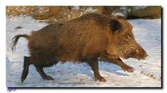 Ein Wildschwein auf der Flucht. Animals, Blog, Wild Boar, Kunst, Animales, Animaux, Animal, Blogging, Animais