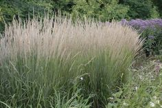 Karl Foerster grass adds a feathery interest to your garden  http://www.oceanstatejoblot.com/product/indexGrid4Y.php