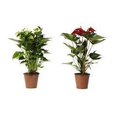 ANTHURIUM Plante - IKEA