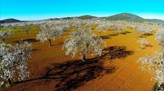 ALMOND BLOSSOM. The last weeks of January are a very special time in Ibiza for nature lovers. The first sign of Spring is heralded by the spectacular display of almond blossom which can be seen around the island....bit.ly/1oN6FON