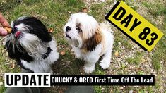 The very first time our New Shih Tzu puppies Oreo and Chucky have been allowed off their leads in a public place. Shih Tzu Puppy, Chucky, New Puppy, First Time, Puppies, Pets, Animals, Baby Shih Tzu, Cubs