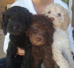 and this is why I have 2 labradoodles all I need now is a brown one!