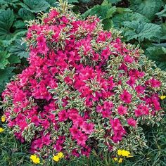 "Azalea 'Bollywood'. Rhododendron. 24"" tall."