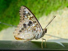 Hackberry emperor butterfly in southeastern Minnesota. Photo by Trista Morton.