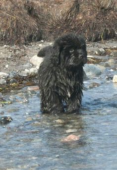 Doing what comes so naturally, a Newfie pup taking to water.