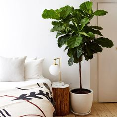 Fig Tree Plant, Ficus Lyrata, Fiddle Leaf Fig Tree, Fiddle Fig, Plant Delivery, Best Indoor Plants, Indoor Trees, Fig Leaves, Begonia