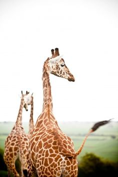 Aww... Giraffes. When they're not kissing and a smooching, they're swishing their tails! <3