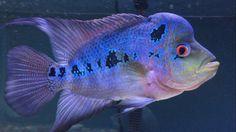 Flowerhorn fish Pez Flower, Aquarium Accessories, Fish Ponds, Cichlids, Aquariums, Aquarium Fish, Bengal, Beautiful Horses, Under The Sea