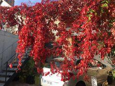 Cerveny javor na zahradu