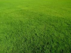 Zoysia grass sod care and watering