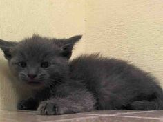BABY PULLED BY ANJELLICLE CATS RESCUE - NYACC **URGENT** ULTRA ADORABLE BLUE BABY ALERT** TO BE DESTROYED 7/24/14 Manhattan Center  My name is GROMPIE. My Animal ID # is A1007308. I am a male gray amer sh mix.  5 WEEKS old STRAY on 07/19/2014