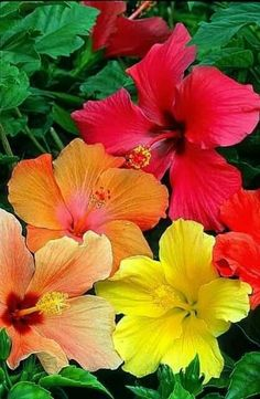 Growing hibiscus is a very easy way to include an exotic flair to your garden. When you recognize the best ways to look after hibiscus plants, you will certainly be rewarded with many years of wonderful blossoms. Let's check out some ideas on how you can Hawaiian Flowers, Hibiscus Flowers, Exotic Flowers, Tropical Flowers, Colorful Flowers, Beautiful Flowers, Hibiscus Garden, Simply Beautiful, Hibiscus Plant