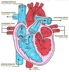simple heart diagram for kids to label nursing school pinterest rh pinterest com easy to learn heart diagram easy human heart diagram