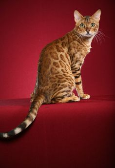Bengal cats are adorable!