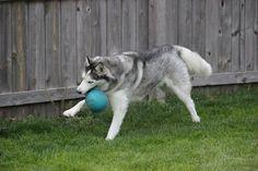 Jolly ball Siberian Husky play time