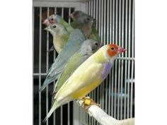 Lady Gouldian Finches exotic birds male and female