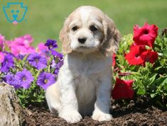 """Learn more details on """"English spaniel"""". Have a look at our web site. English Cocker Spaniel Puppies, Spaniel Puppies For Sale, American Cocker Spaniel, Cute Dogs And Puppies, Baby Dogs, English Spaniel, Doggies, Puppy Palace, Puppy Dog Eyes"""