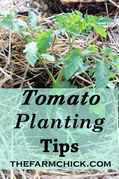 Get amazing tomato yields in your backyard garden or homestead with my tomato planting tips! #tomatoes #garden #beginnergardener #plantingtomatoes